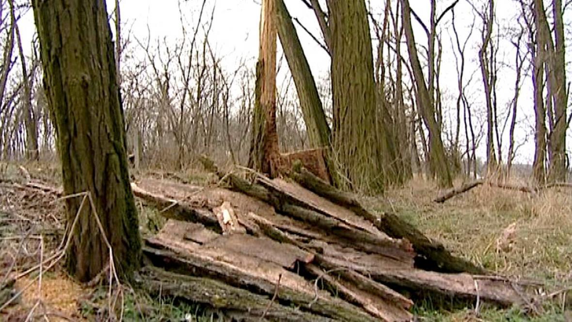 Pokácený akátový lesík u Šanova