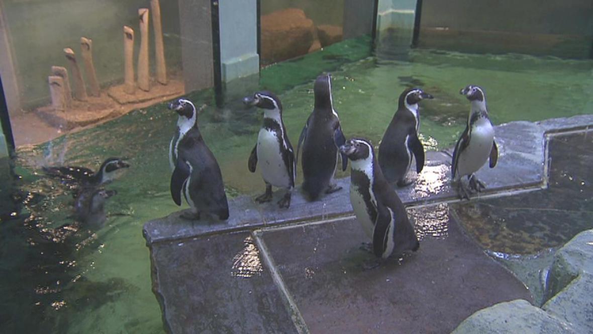 Tučňáci v pražské zoo