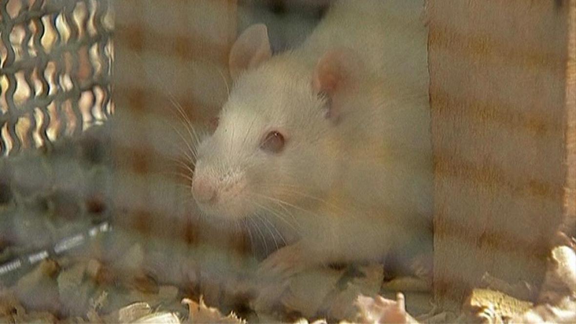 Laboratorní potkan
