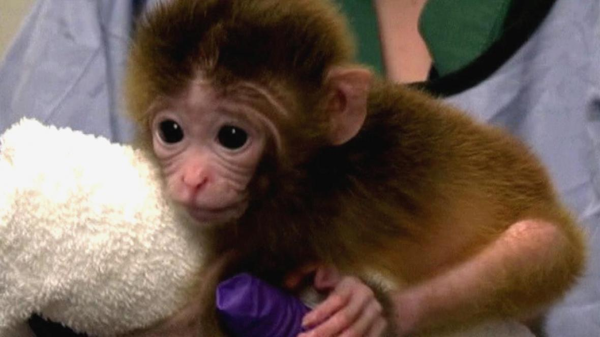 Geneticky upravená opice