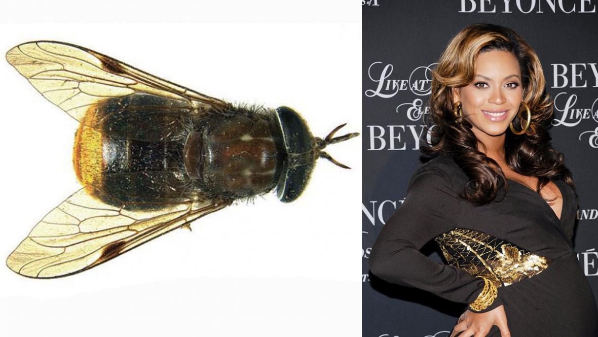 K nerozeznání: Scaptia Plinthina beyonceae a Beyoncé