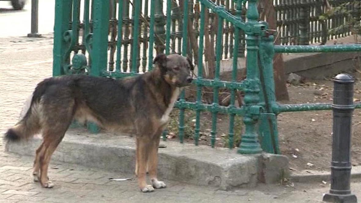 Toulavý pes v Bukurešti