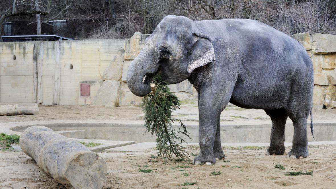 Slon se živí vánočním stromkem