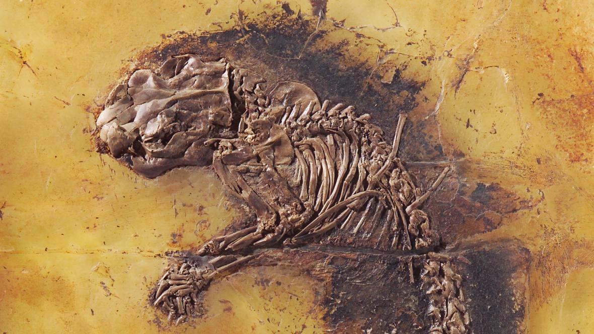 Zkamenělina z Messelu