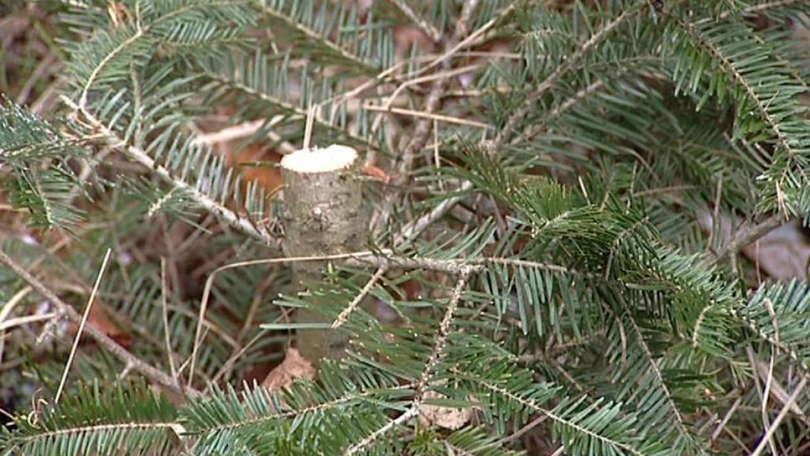 Uříznutý stromek