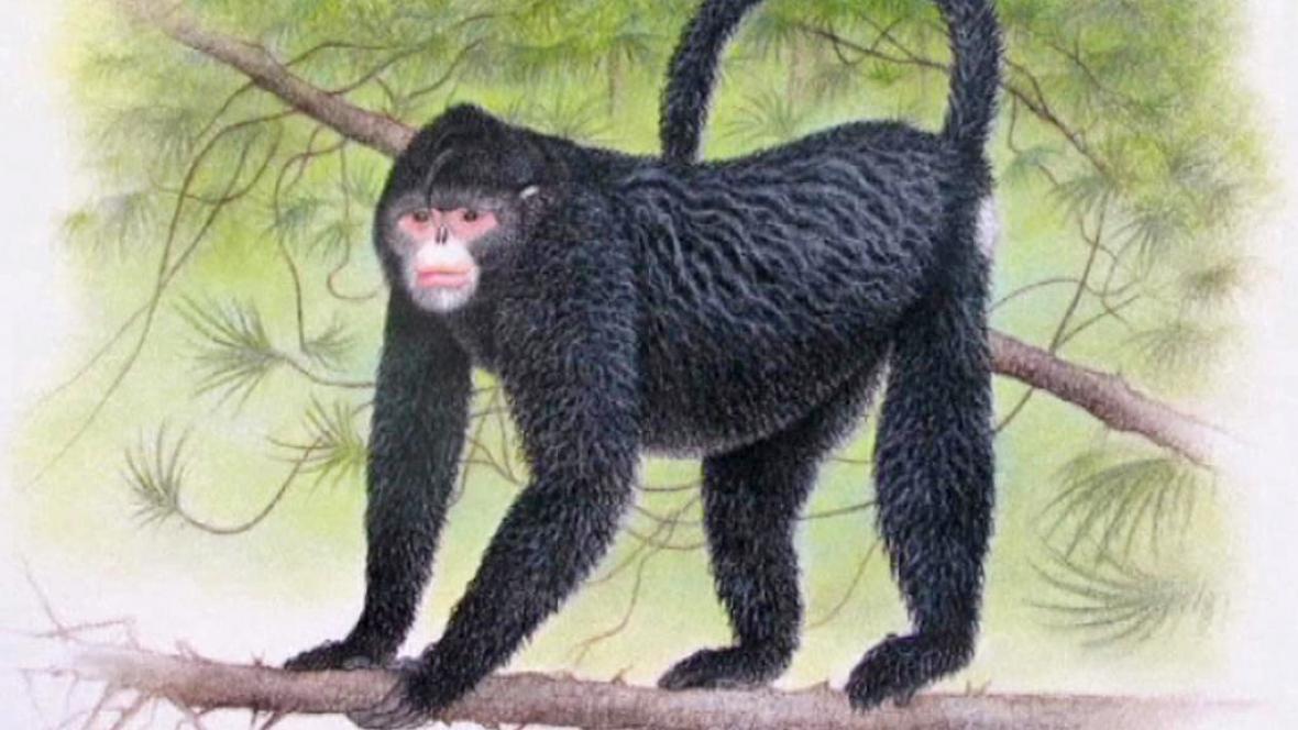 Tuponosá opice (Rhinopithecus strykeri)