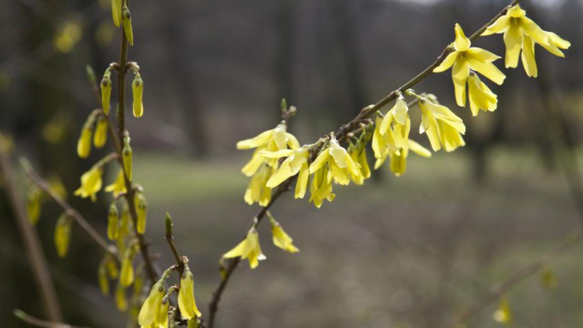 Zlatý déšť