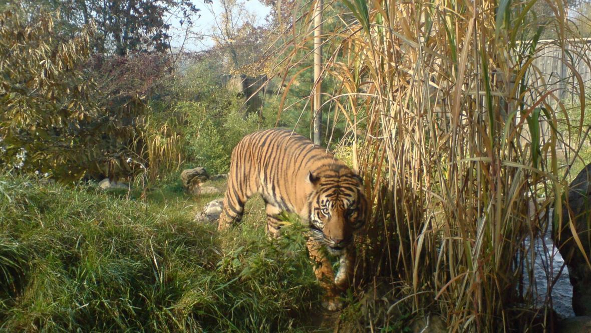 Tygra se šetření v brněnské ZOO nedotkne