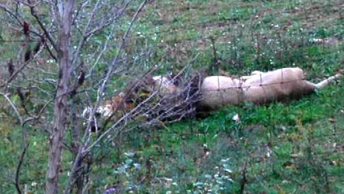 policie zatřelila lva uprchlého z parku v Ohiu
