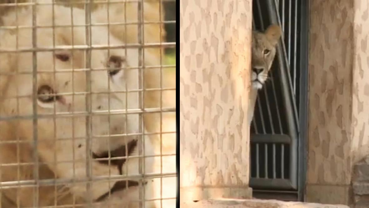 Zubožení lvi v tripoliské zoo