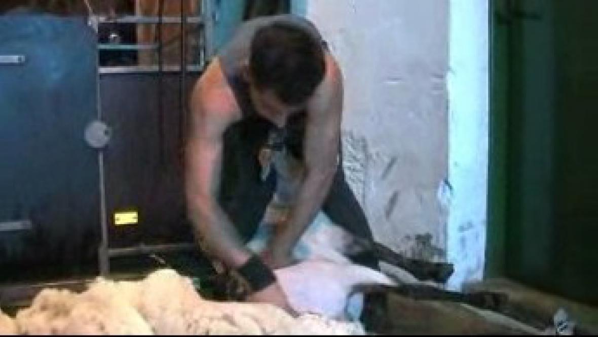Střihač ovcí při práci