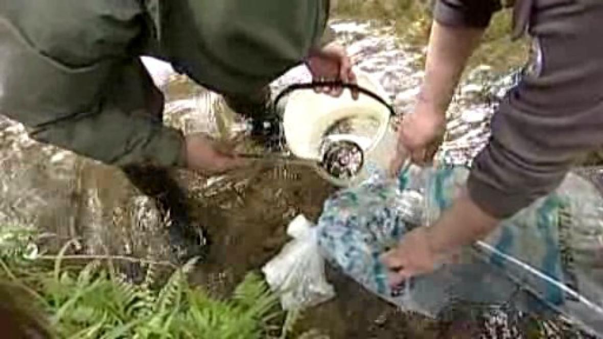 Vypouštění mladých lososů