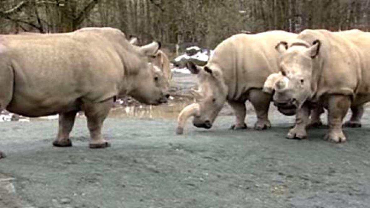 Nosorožci bílí