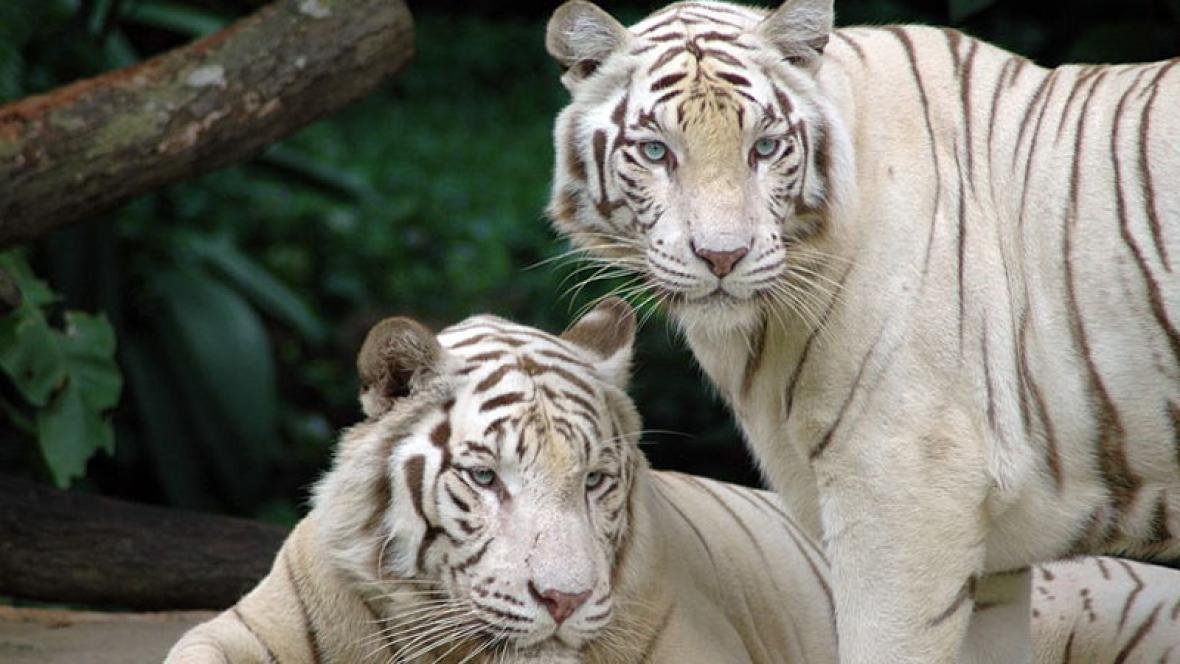 Párek bílých tygrů