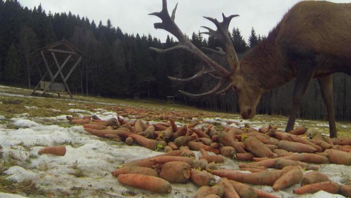 Jelen v obůrce na Šumavě