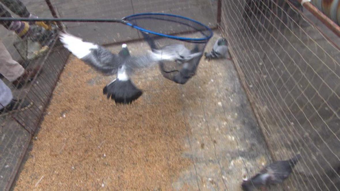Odchyt holubů do podběráku