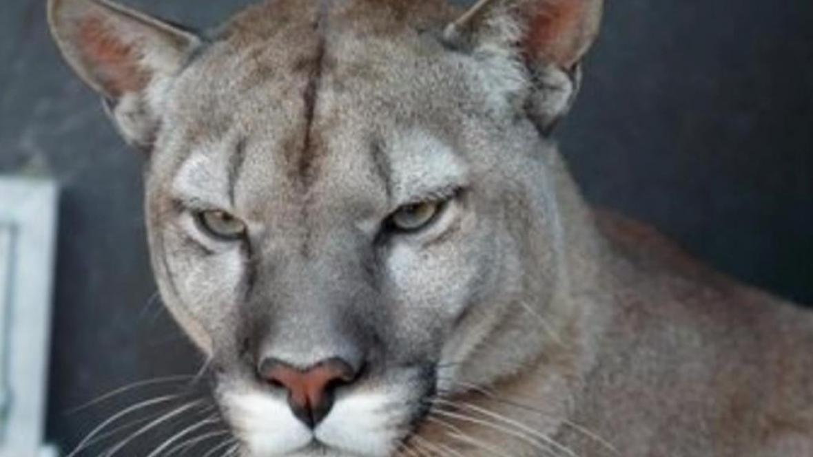 Puma americká v táborské zoo