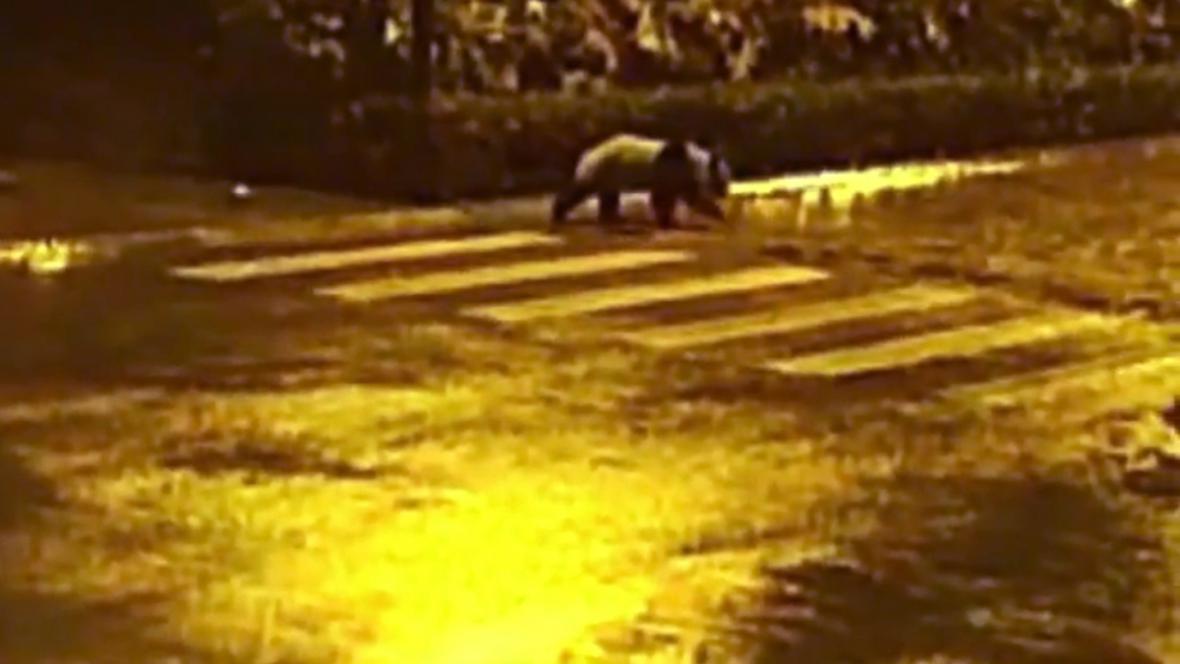 Panda velká na noční procházce