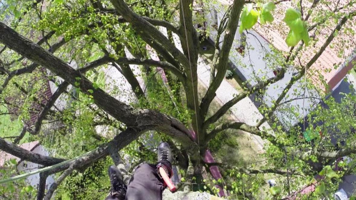 Arborista prořezává lípu