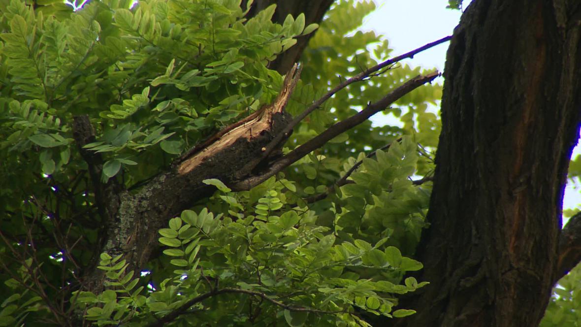 Měření statiky stromů v Brně