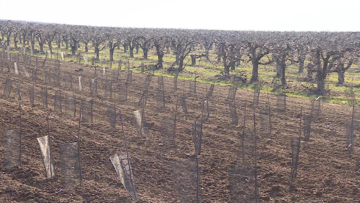 Ze sadu ve Starém Lískovci zmizely dvě stovky jabloní