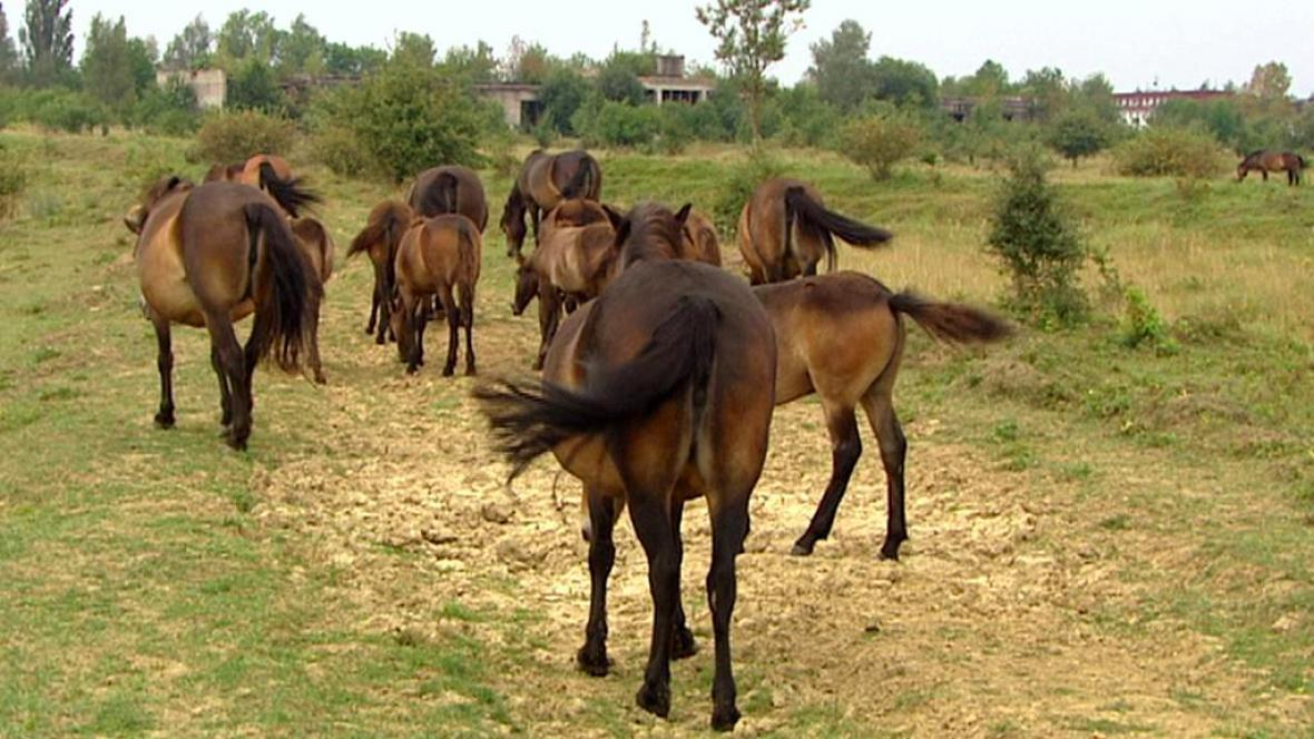 Divocí koně v Milovicích