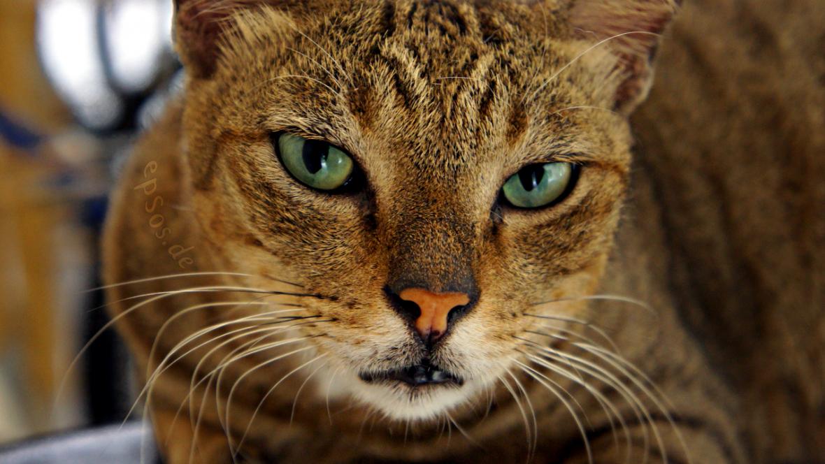Vrcholový predátor - kočka