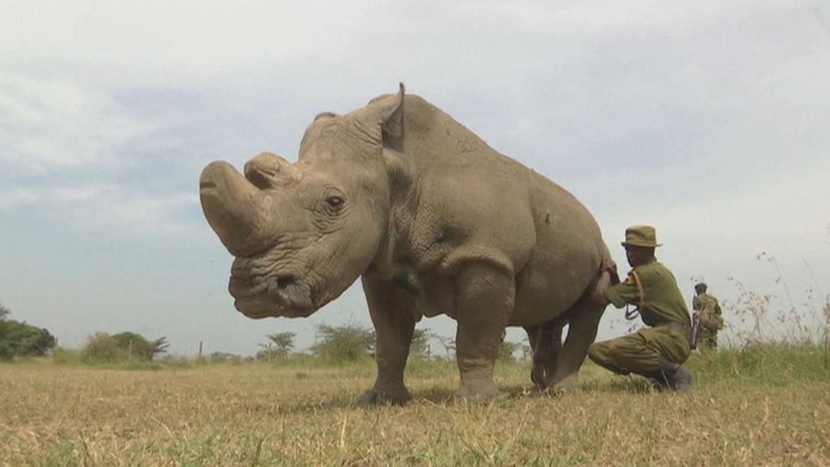 Poslední svého druhu - nosorožec Súdán v Keni