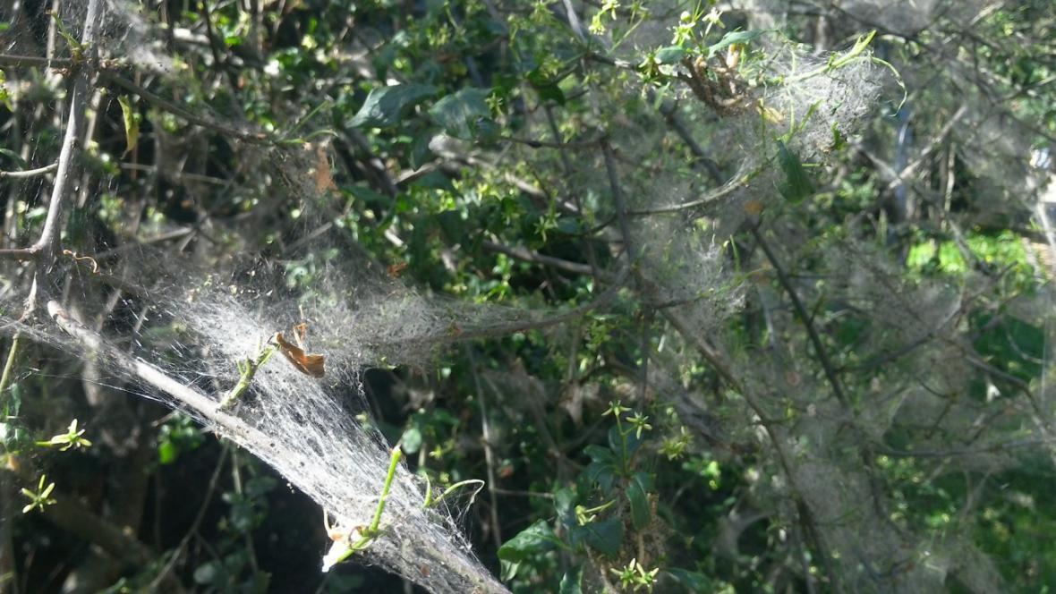 Pavučiny housenky předivky brslenové