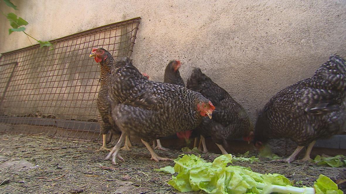 Odškodnění za ptačí chřipku vázne