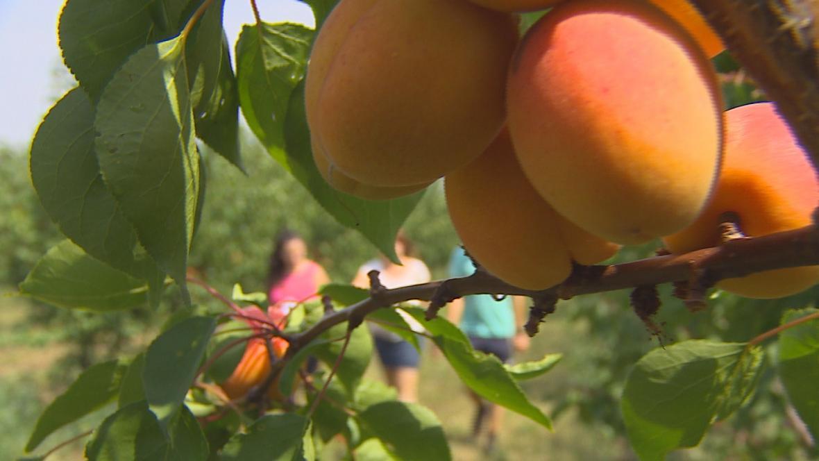 Kontroloři prověřují ovocné sady