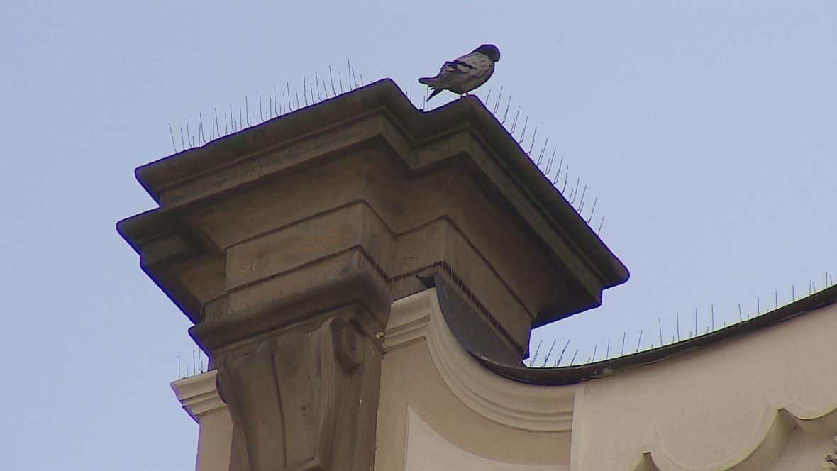 Majitelé budov bojují s holuby