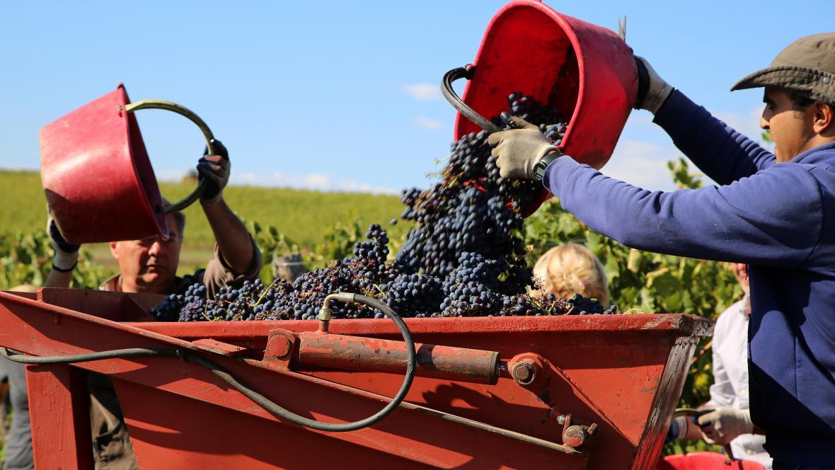 Sklizeň vína v Itálii