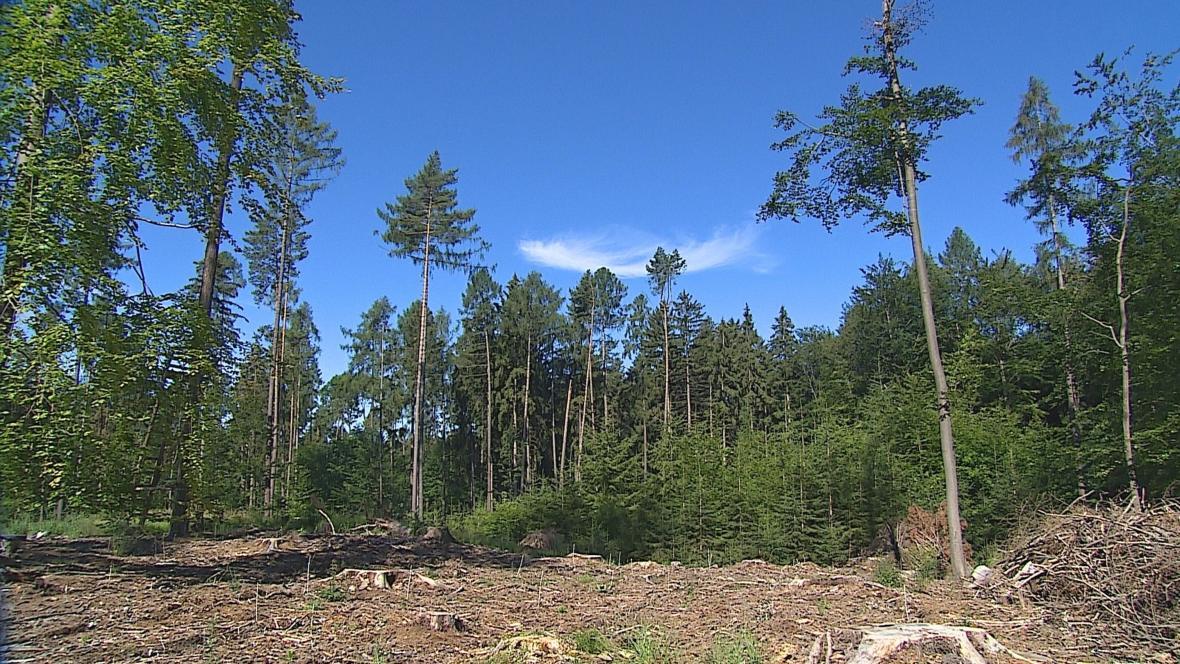 Lesní paseka
