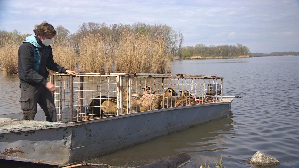 Ovce a kozy veze na ostrov rybářská loď