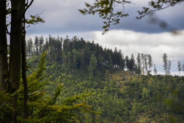 Prořídlé beskydské lesy