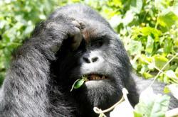 Gorila východní