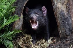 Tasmánský čert