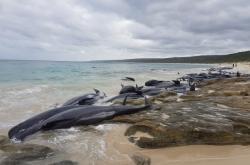 Velryby uvízlé na australské pláži