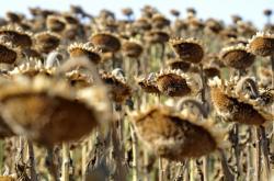 Sucho na slunečnicovém poli nedaleko Rajhradu