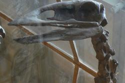 Lebka aepyornise
