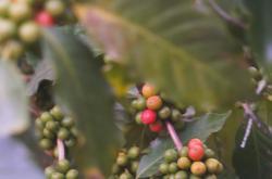 Kávovník na čínské plantáži