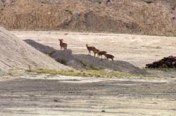 Mufloni v Českém středohoří ohrožují vzácné rostliny
