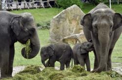 V pražské zoo pokřtili 21. června 2020 dvě sloní samičky. Slůňata Amalee (vpravo) a Lakuna zůstanou v Praze
