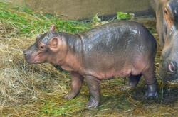 V ostravské zoo se narodilo hroší mládě