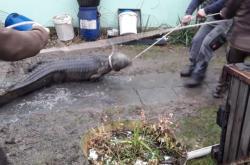 Odchyt krokodýla nilského v Lubině