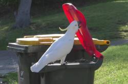 Kakadu otevírá popelnici