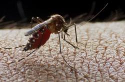Malárii přenáší komáří samička rodu Anopheles