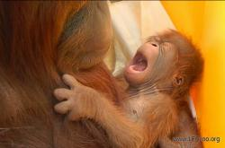 Historicky první mládě orangutana narozené po umělém oplodnění