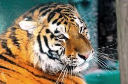 Tygr ussurijský